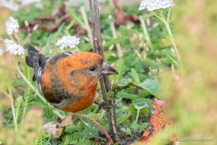 Two-Barred Crossbill - The Hall of Einar - photograph (c) David Bailey (not the)