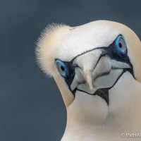 When a Gannet lands next to us
