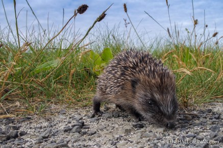 Hedgehog rescue - The Hall fo Einar - photograph (c) David Bailey (not the)