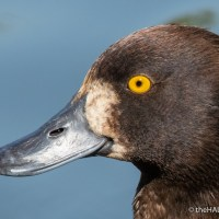 The reason ducks have such brilliant eyes