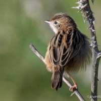 Who knew something called a Zitting Cisticola existed?