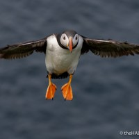 Tuesday's Puffin