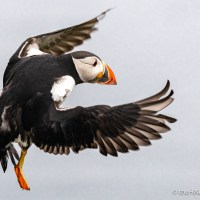 Thursday's Puffin