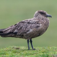 Stumbling across a Great Skua
