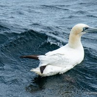 Gannet on the water