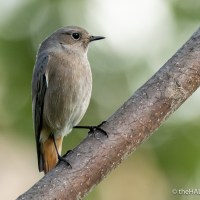 Black Redstarts, one day and another