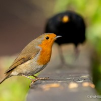 When Robin and Blackbird meet