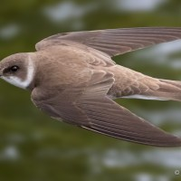 Sand Martins on the Teign