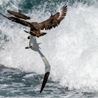 The Great Skua and the Gannet's tail