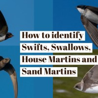 Swifts, Swallows, House Martins and Sand Martins - how do you tell them apart?