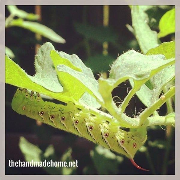 garden_pest