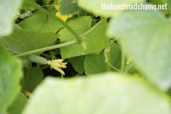 growing_cucumber