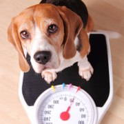 Strategies & Tips for Overweight Dogs | The Happy Beast