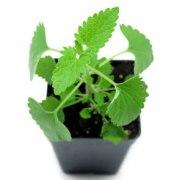 Live catnip plant