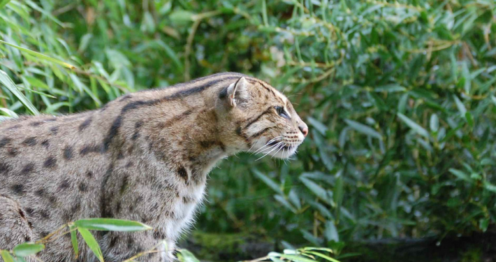 Raising awareness of the world's wildcats