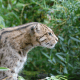 Raising awareness of the world's wildcats