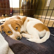 """Brain Games for a Dog on """"Crate Rest"""" - The Happy Beast"""
