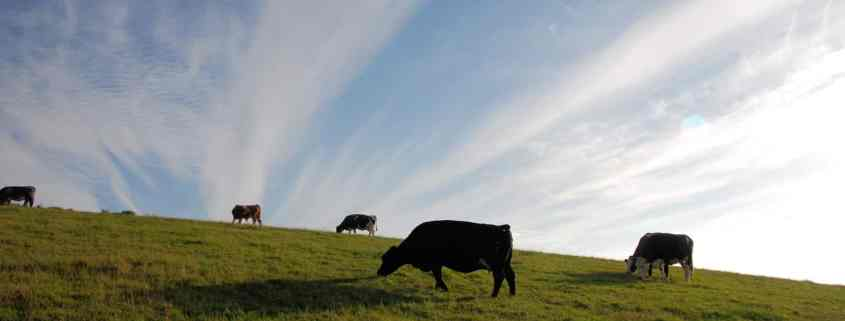 Cows Grazing on Hillside - Meat and the Environment - The Happy Beast
