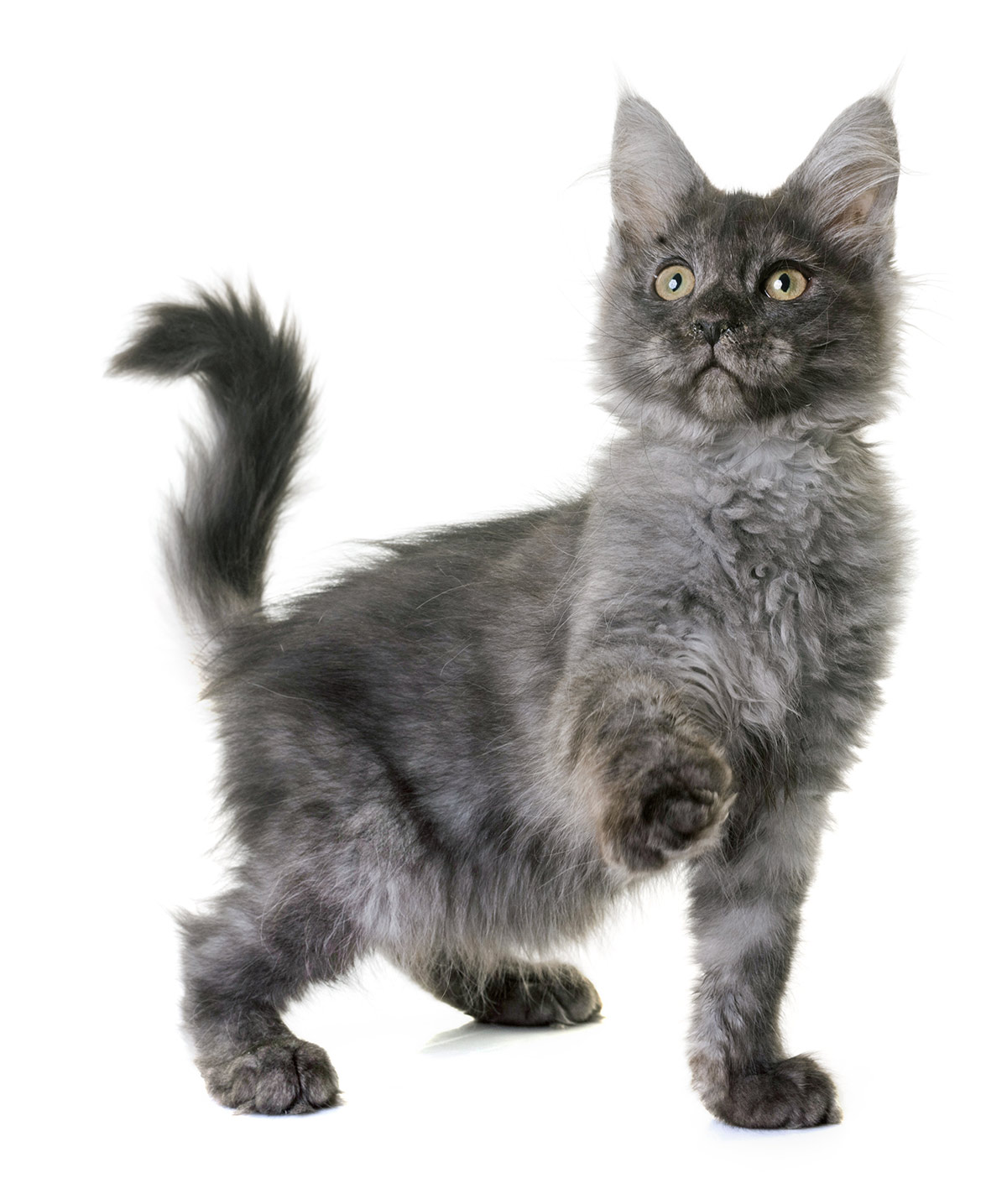 hight resolution of gray maine coon photos