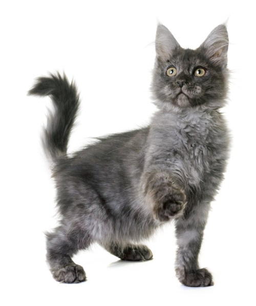 small resolution of gray maine coon photos
