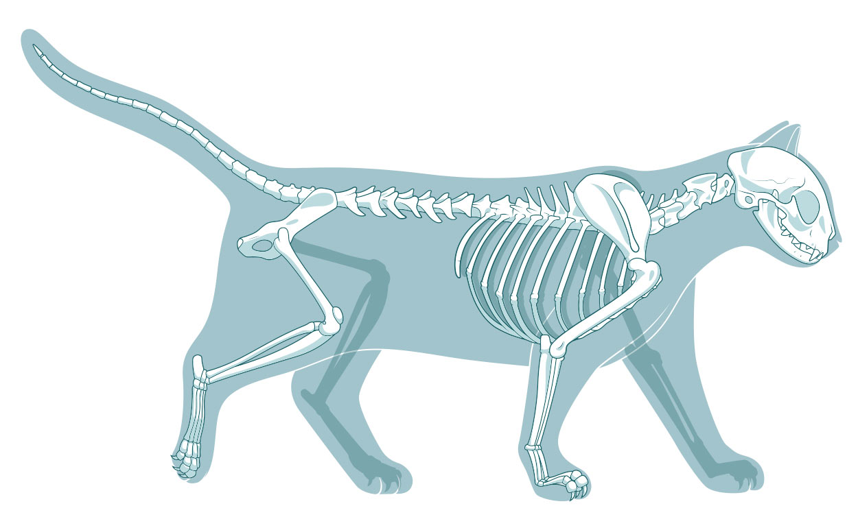cat skeleton diagram labeled 2 wire thermostat wiring heat only how many bones are in a and other