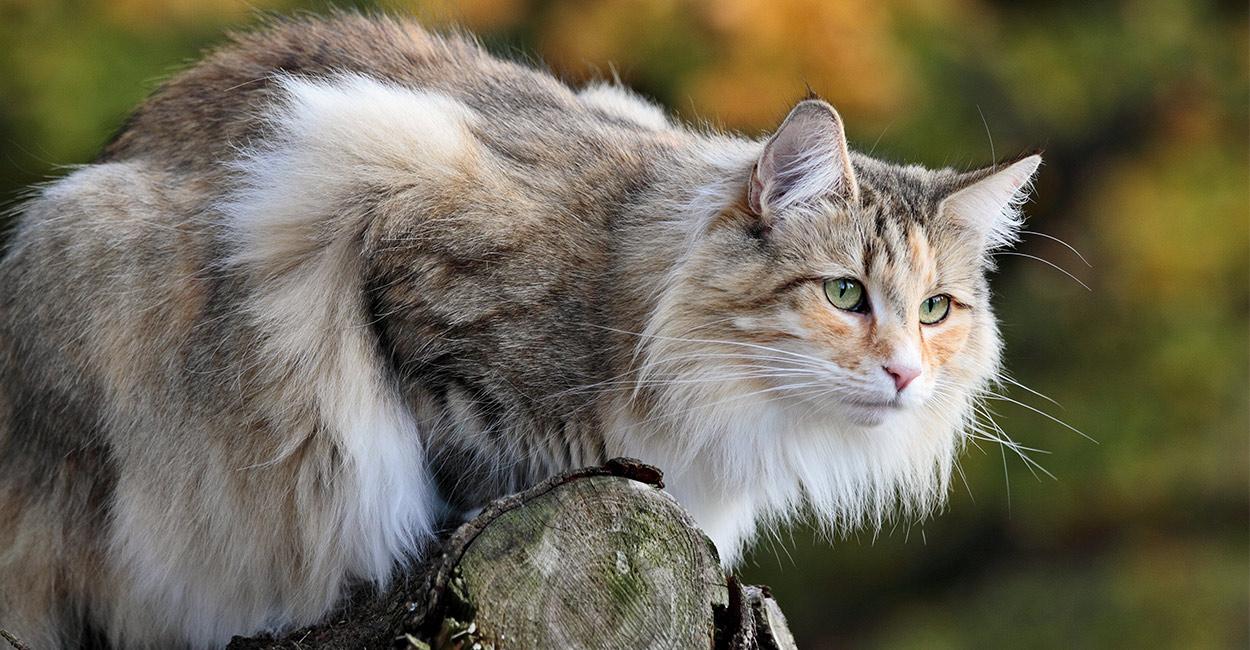 norwegian forest cat your