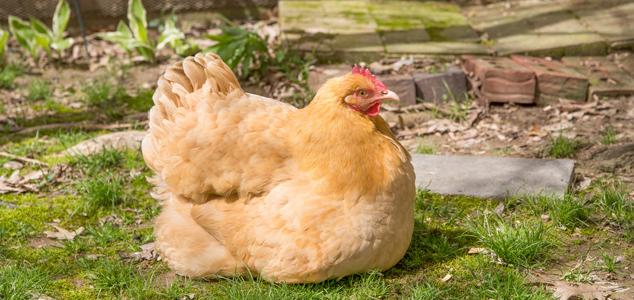 Broody Chicken Buff Orpington