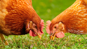 How to Introduce New Chickens to Your Existing Flock