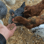 47 Backyard Chicken Owners Speak Out What I Wish I D
