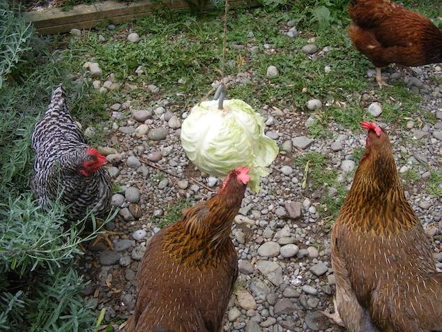 Feeding Chickens Lettuce