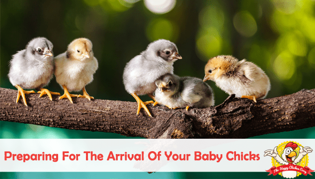 Preparing For The Arrival Of Your Baby Chicks