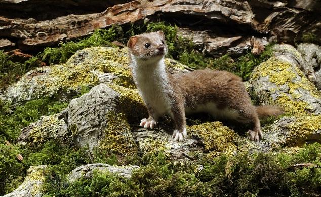 Weasel Hunting