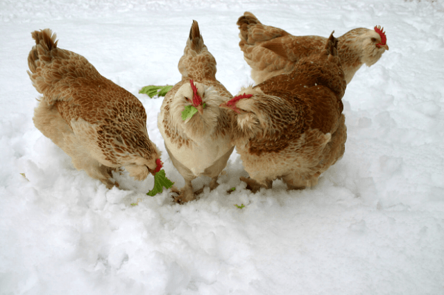 Chickens in Snow during Winter