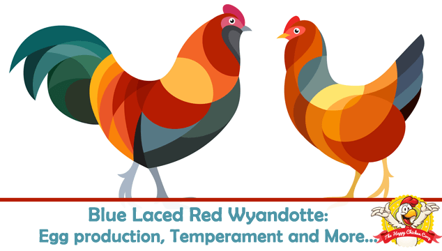 Blue Laced Red Wyandotte Egg production, Temperament and More Blog Cover