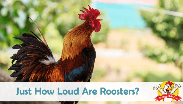 Just How Loud Are Roosters? 5 Myths Debunked Blog Cover