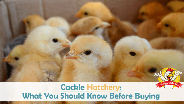 Cackle Hatchery What You Should Know Before Buying Blog Cover