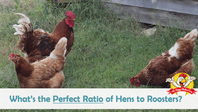 What's the Perfect Ratio of Hens to Roosters Blog Cover