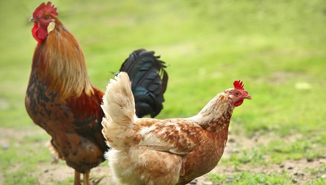 ratio of hens to roosters