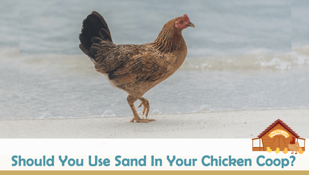 Should You Use Sand In Your Chicken Coop Blog Cover