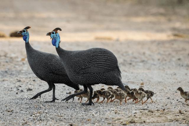 Poule de Guinée Tous Keets