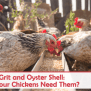 Grit And Oyster Shell Do Your Chickens Need Them