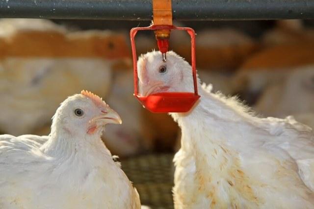 Chicken Waterer Nipple