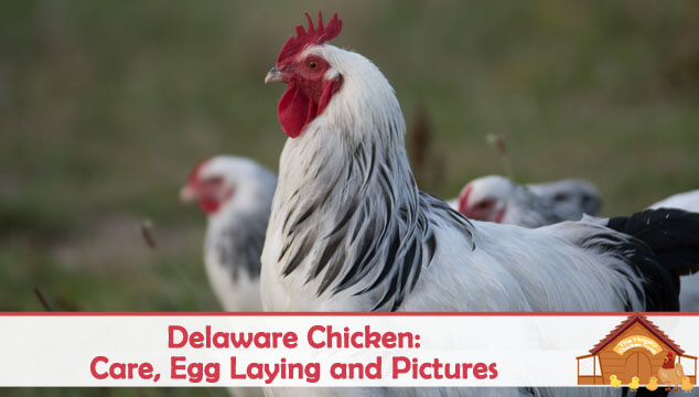 Delaware Chicken Care, Egg Laying and Pictures Blog Cover