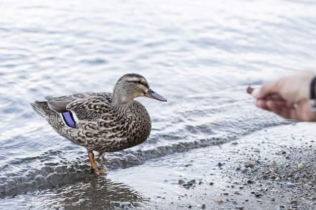 Feeding a Duck