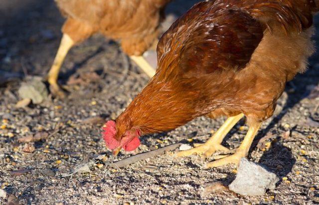 Itinérance de poulet du New Hampshire