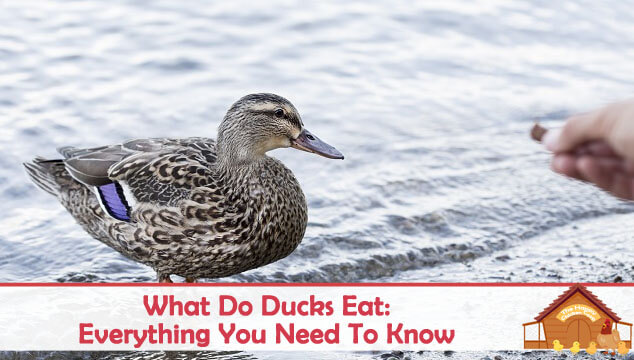 What Do Ducks Eat Everything You Need To Know Blog Cover