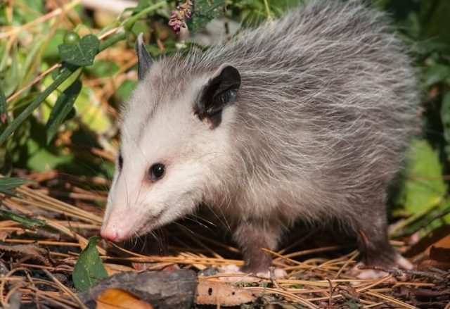 Possums Eat Chickens