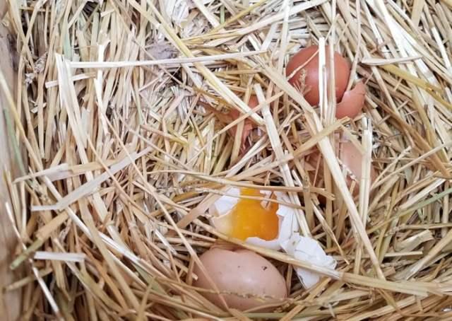 possom eating eggs