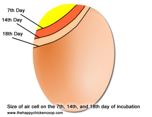 size of aircell of an egg
