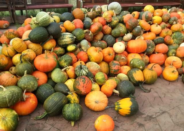 Pumpkin Harvest For Chickens